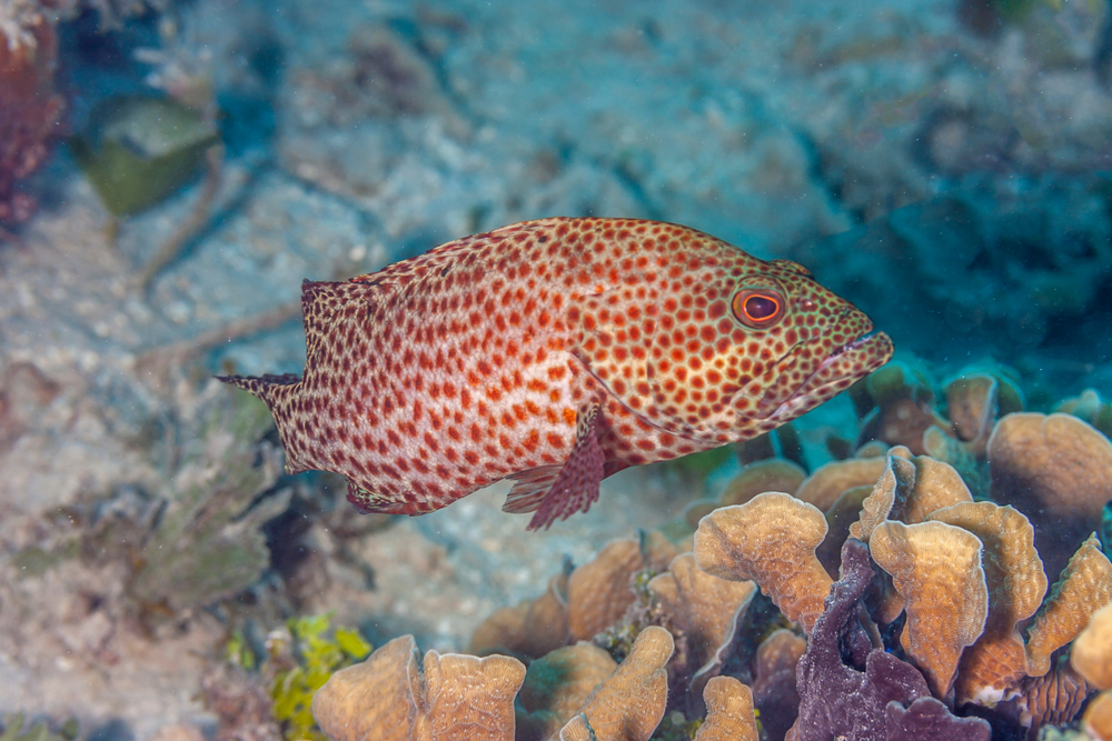 Coney grouper exhibiting different color variations