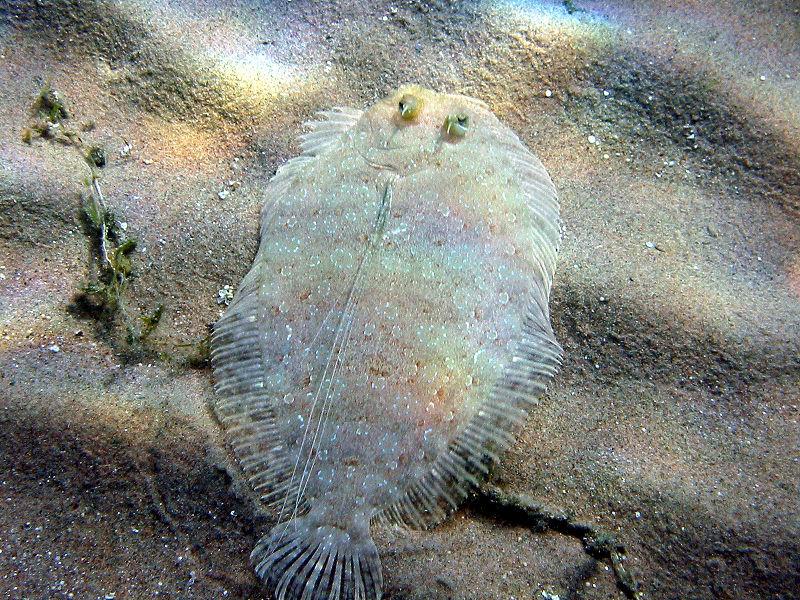 3 eye flounder