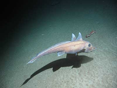 A deep sea Roundnose Grenadier
