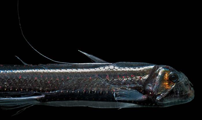 Gonostoma elongatum, a mid-water fish