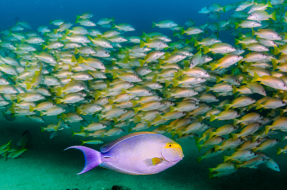 School of yellowfin bass