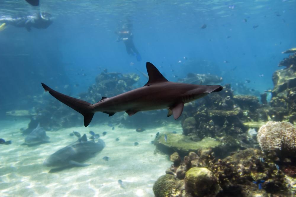 Sponge head Shark