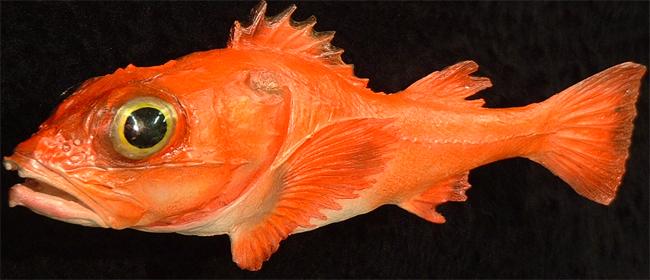 Shortspine Rockfish