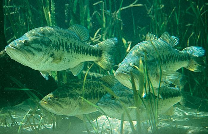 Streamer bass