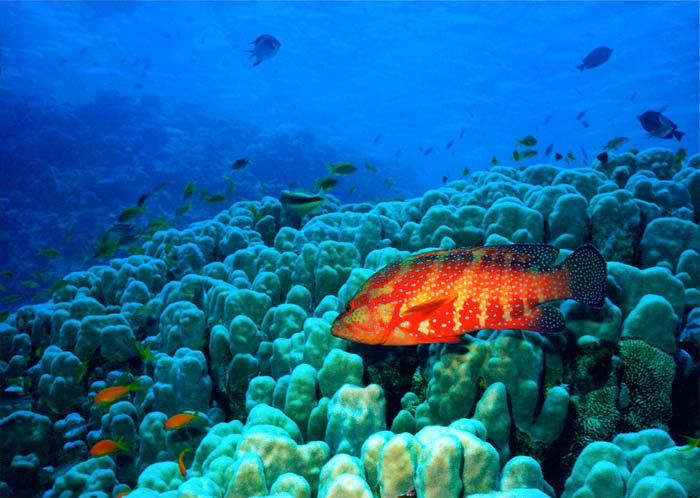 Gag grouper over oculina coral