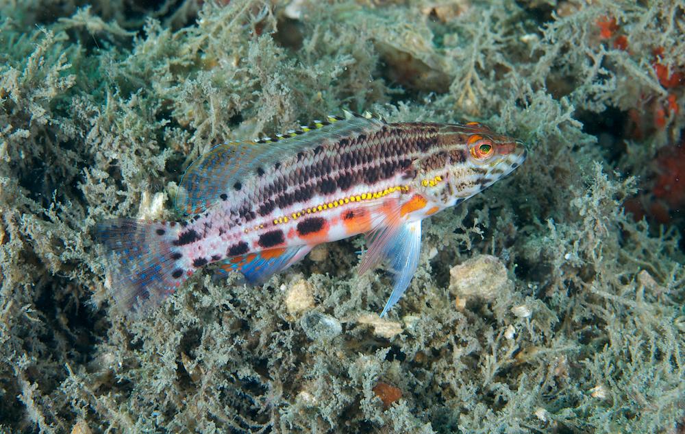 Lantern fish (myctophiids)