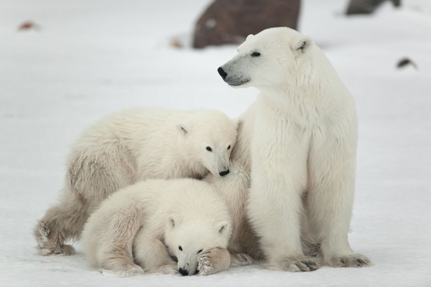 Mother polar bear and cubs