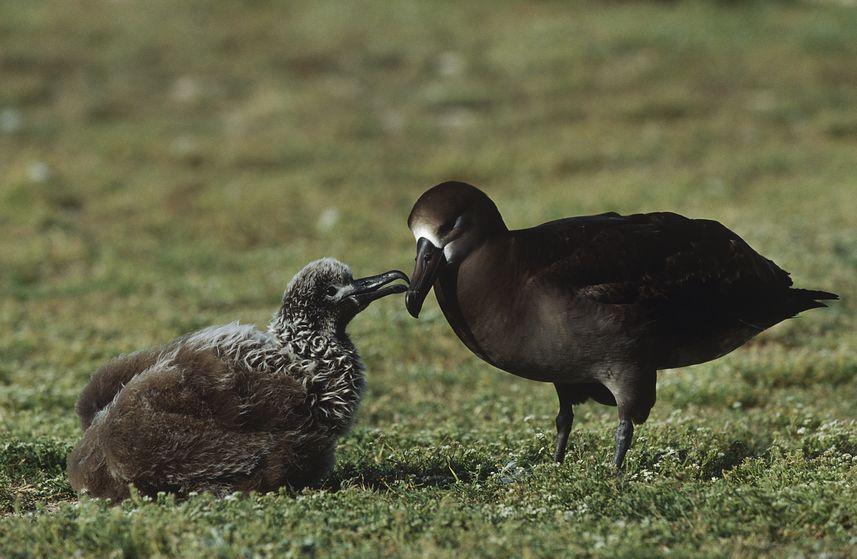 Blackfooted albatross