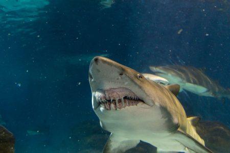 A smalltooth sand tiger shark