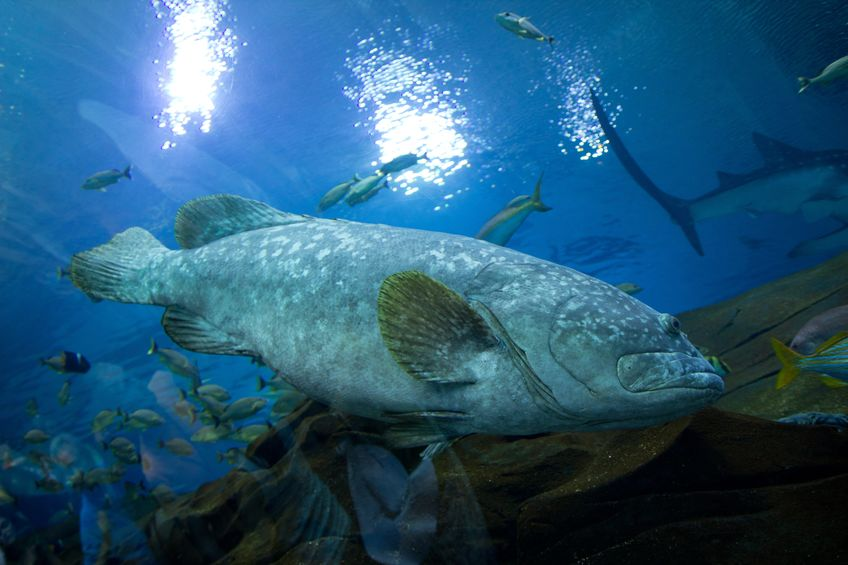Large Gag grouper