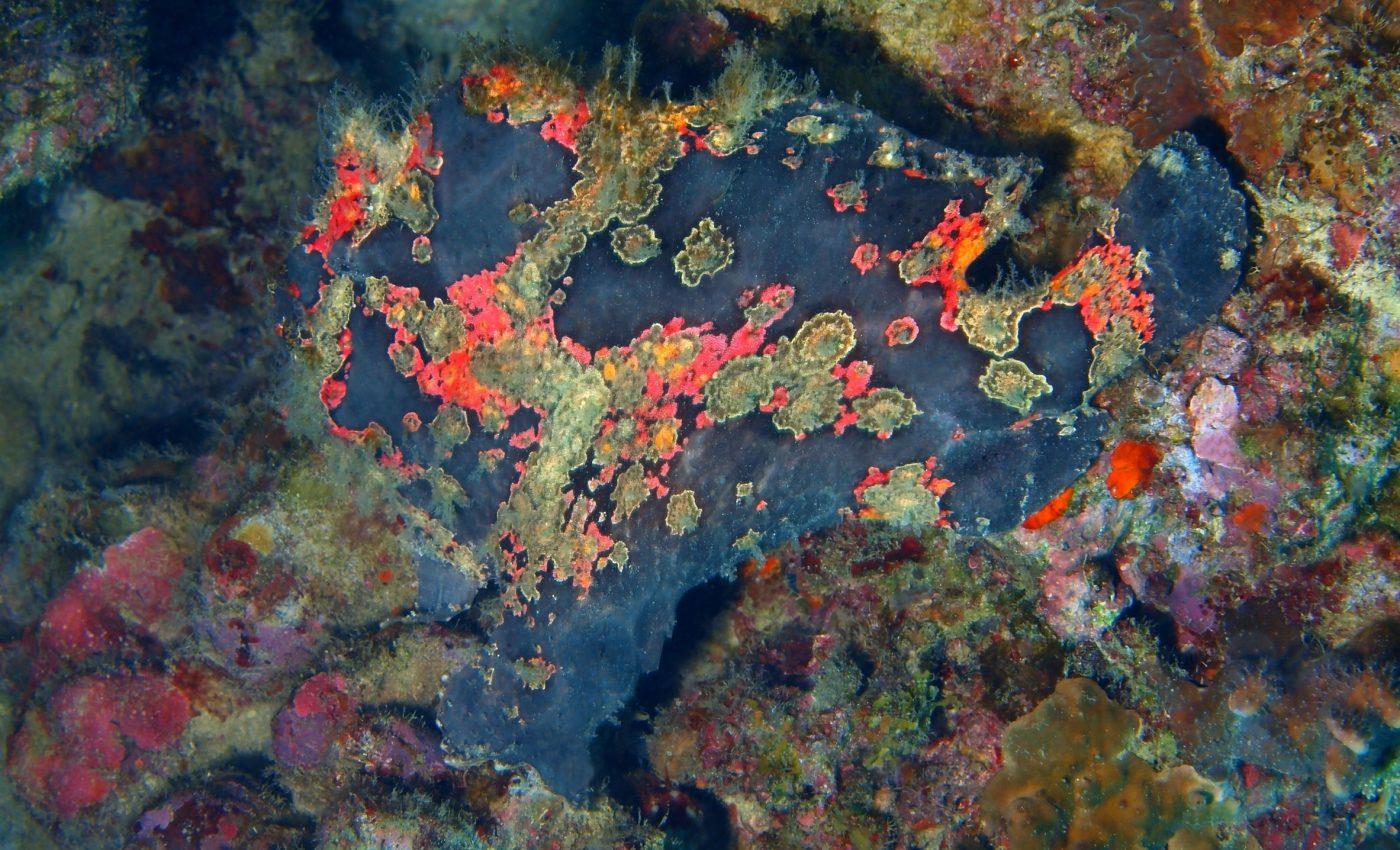 Anglerfish among coral