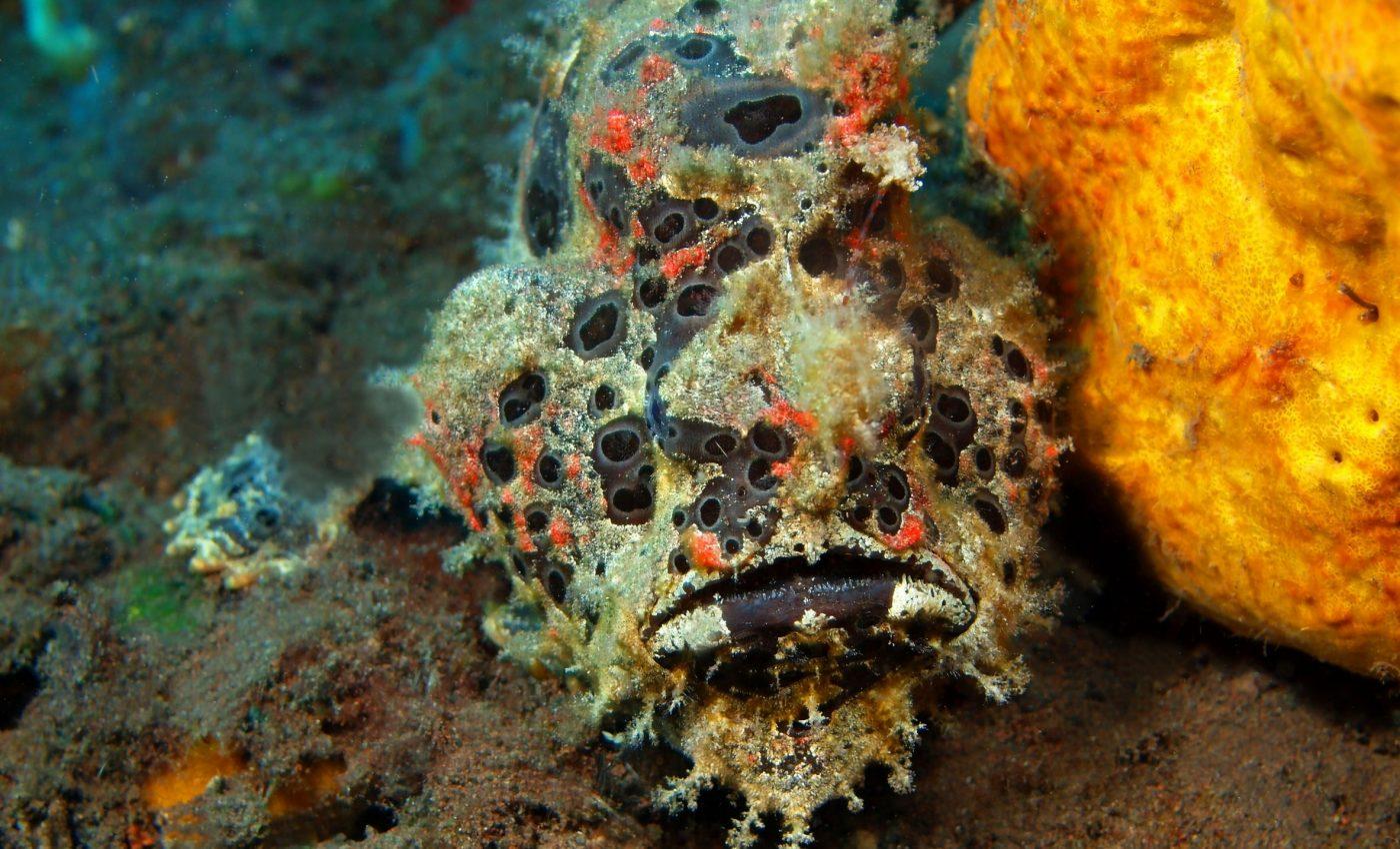 Deep sea anglerfish (Chaunax pictus)