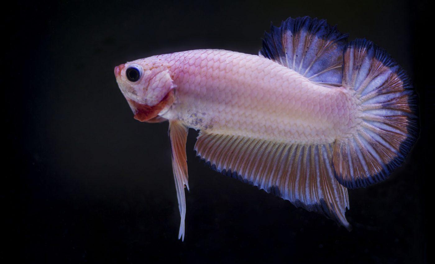 A pink fish