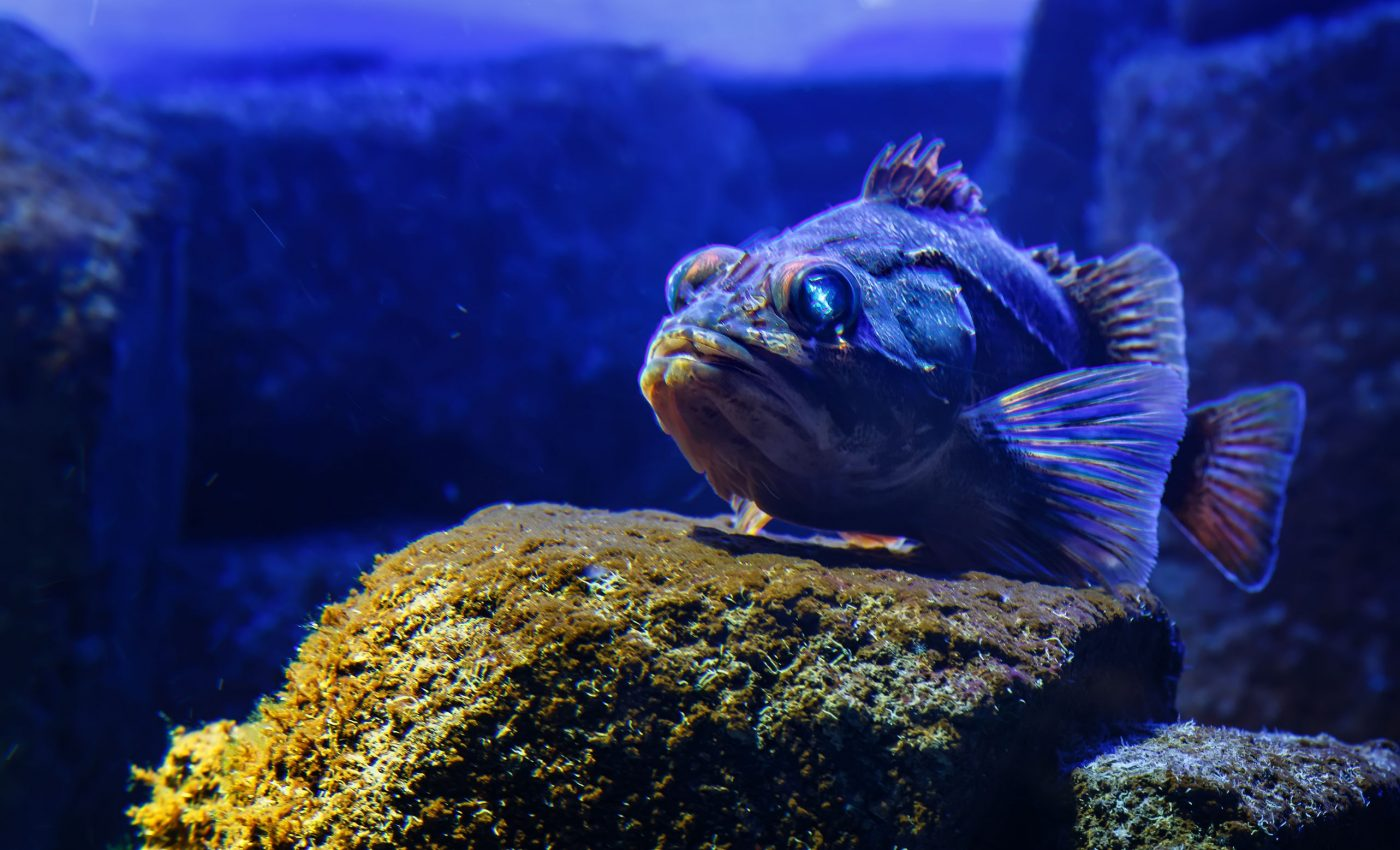 An adult blackbelly rosefish