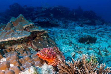 Scorpaenid fish