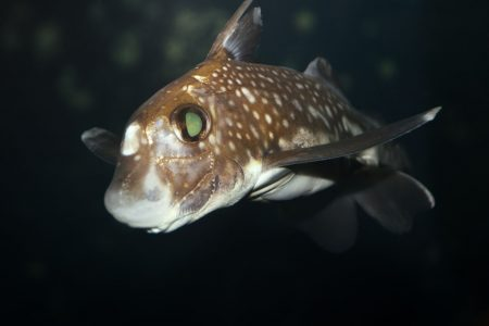 A ratfish cruises the bottom depths at 236 feet