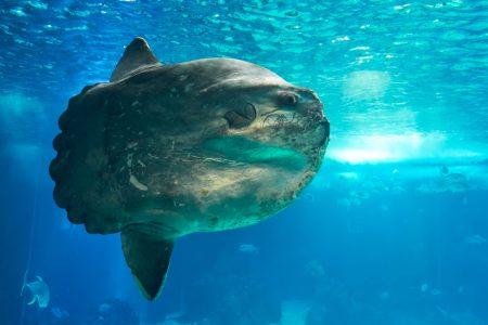 A mola mola soaks up the sun