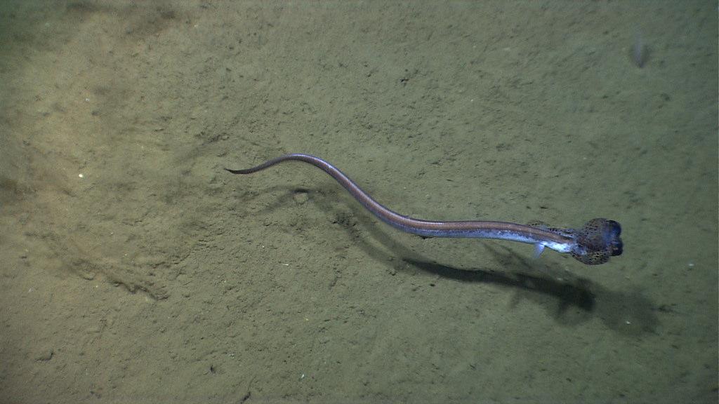 cutthroat eel
