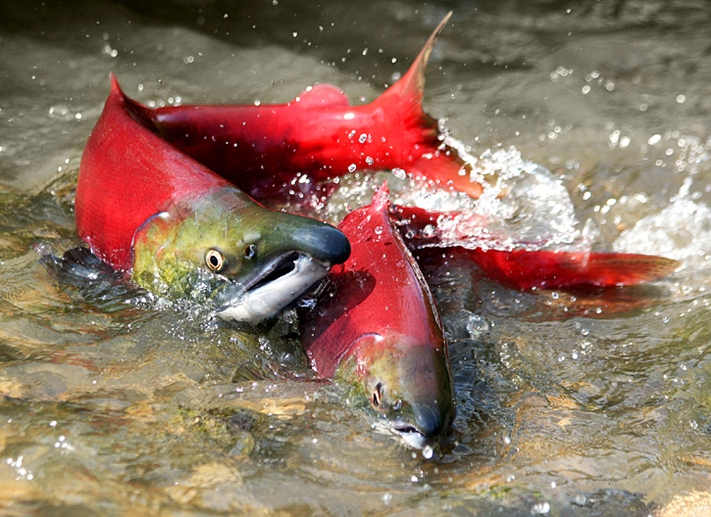 proposed natural gas plant poses risk to salmon