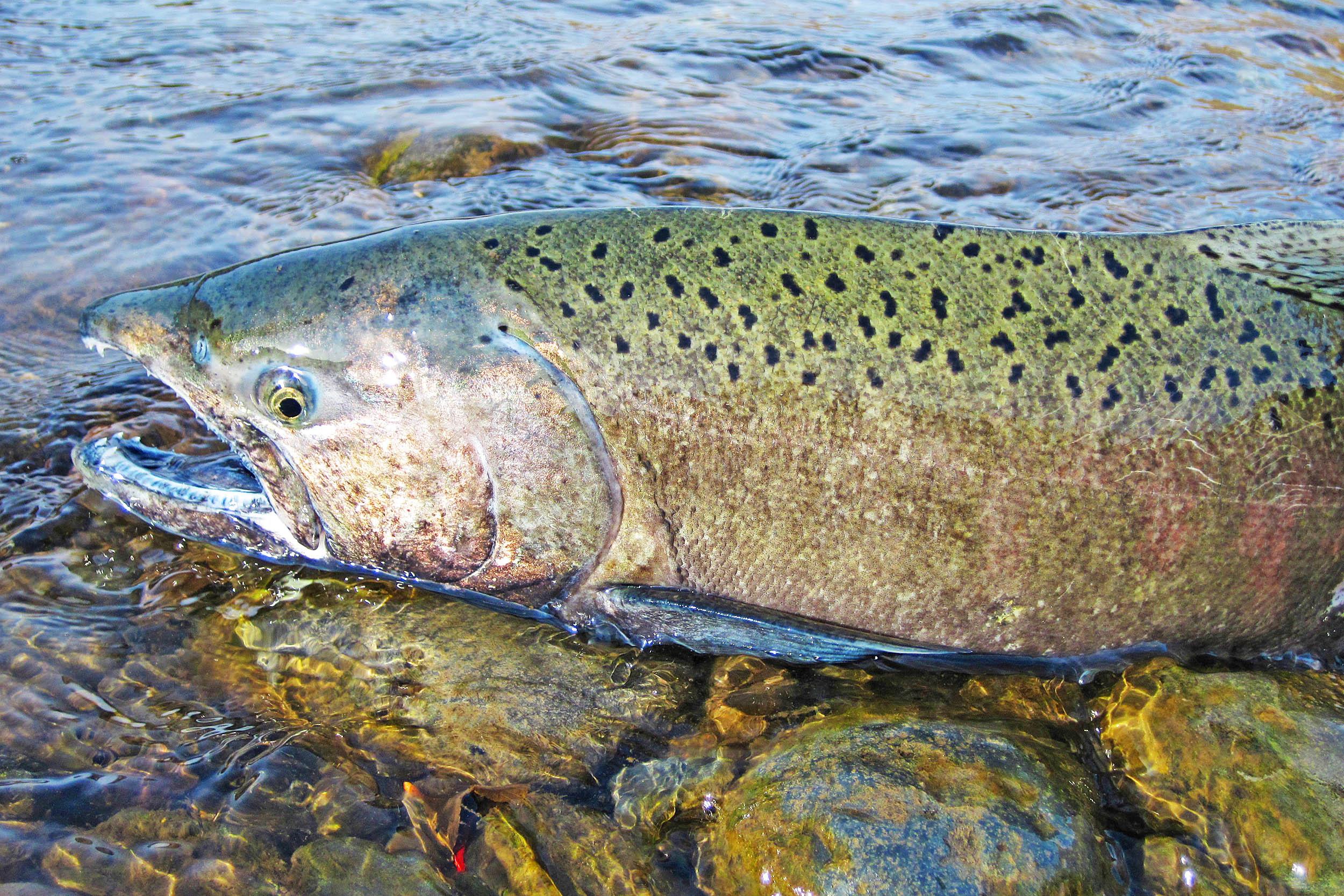 Chinook fish - a bright representative of salmon 64