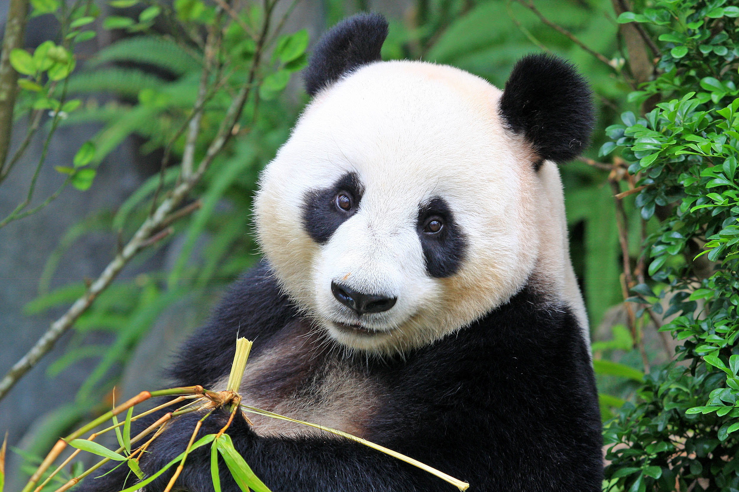 Panda bears' black and white fur is used for both ...