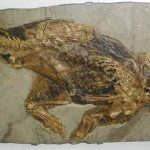 Psittacosaurus, early Cretaceous (120 million years old)