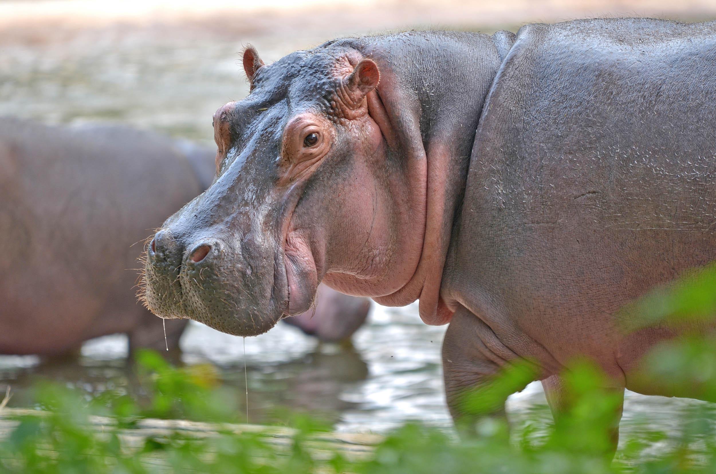 Vagina like a yawning hippo by tomvinny