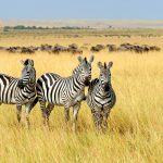 Zebra on African grasslands