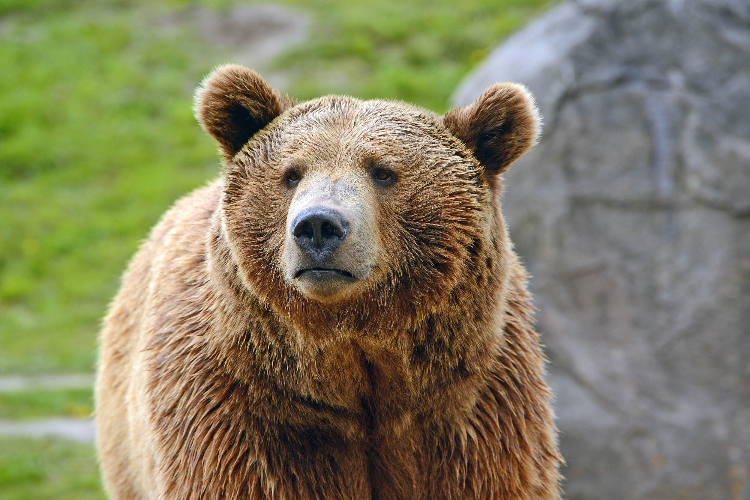 Ecological traps pose big risks for grizzly bears