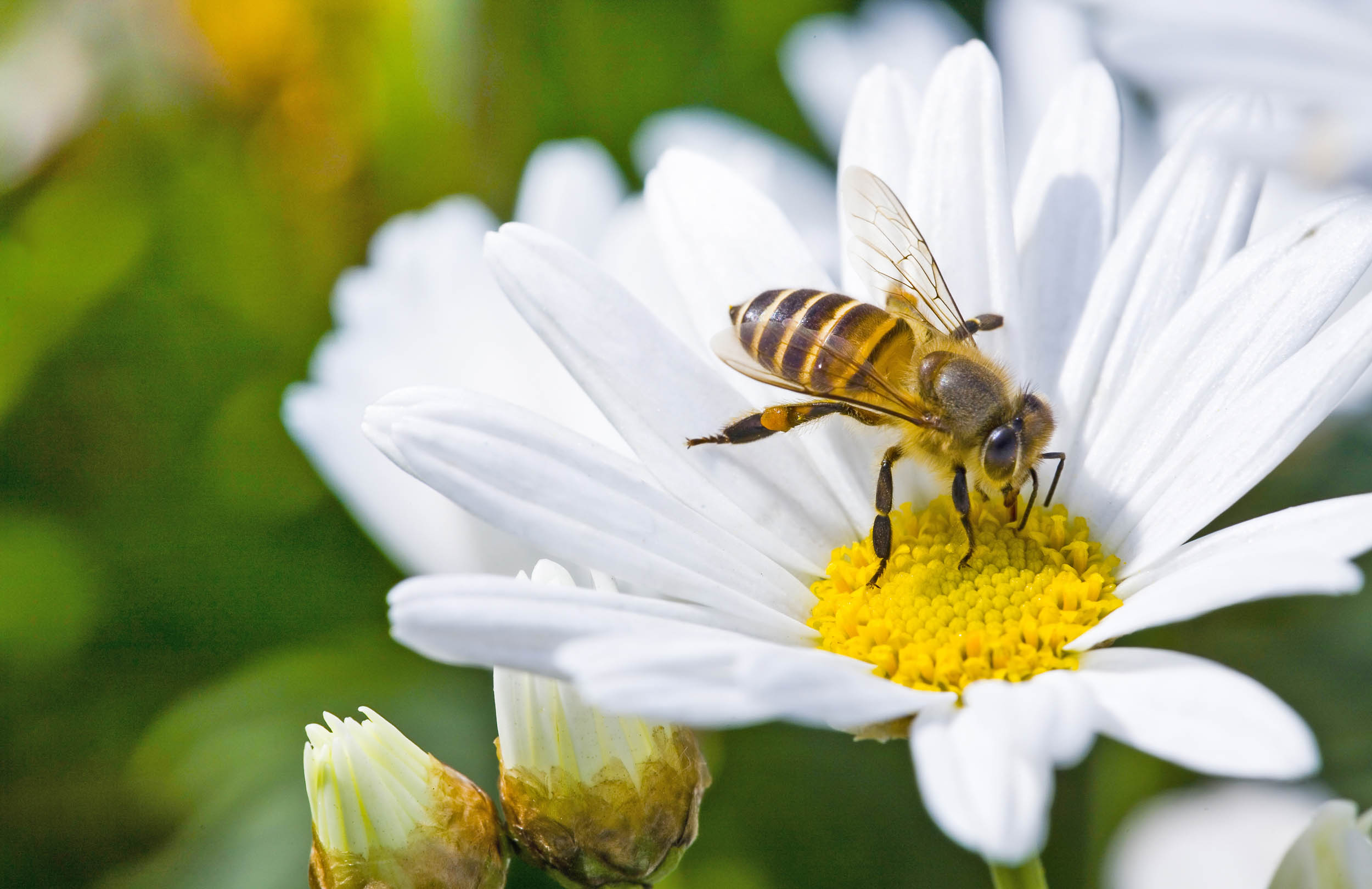 Study: Bees have emotions and good food makes them happy