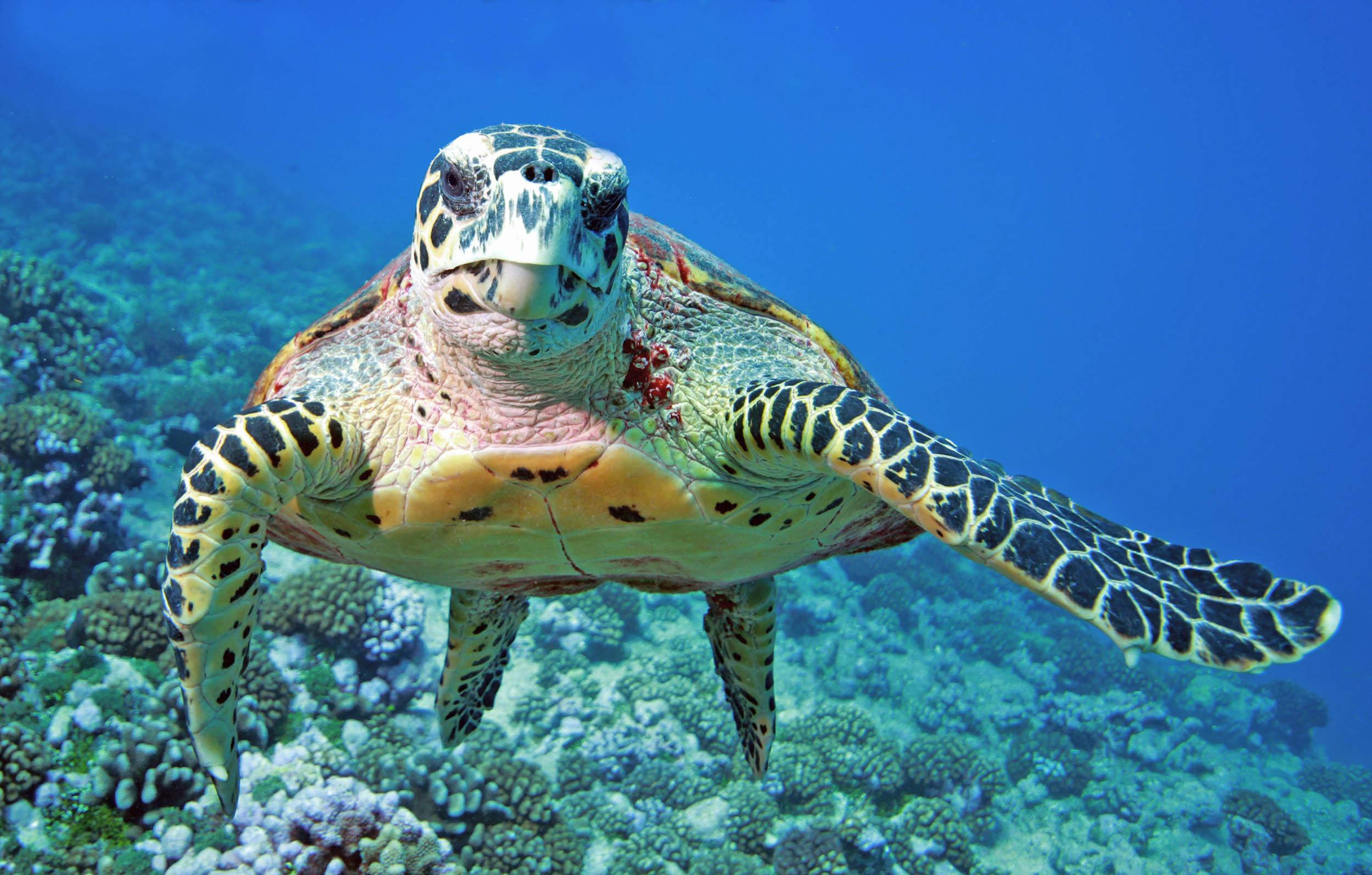 sea turtles originated in the united states u2022 earth com