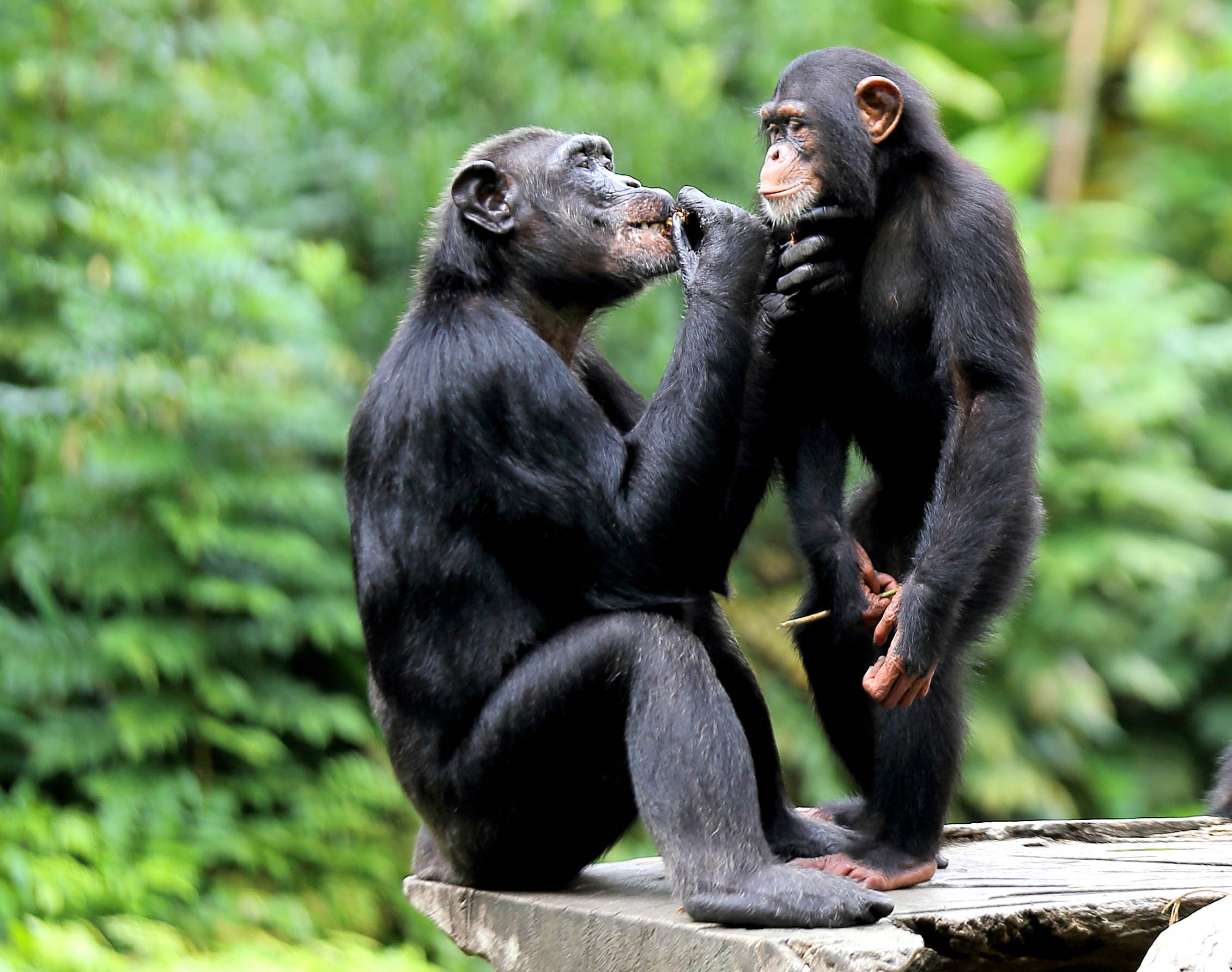 Chimpanzees learn grooming from their mothers