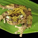 the green-eyed tree frog (Litoria serrata).