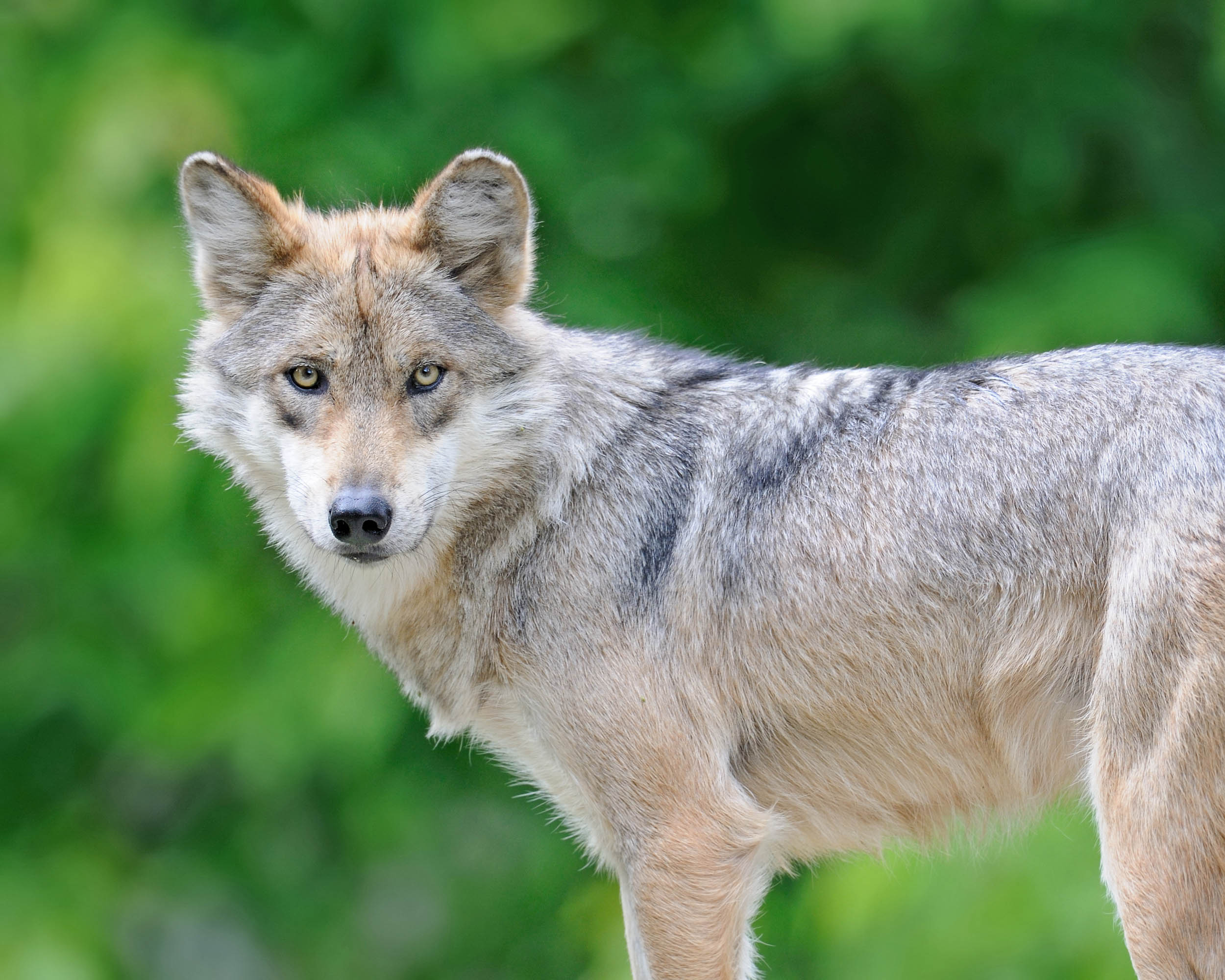 mexican gray wolf canis lupus_1big_stokc