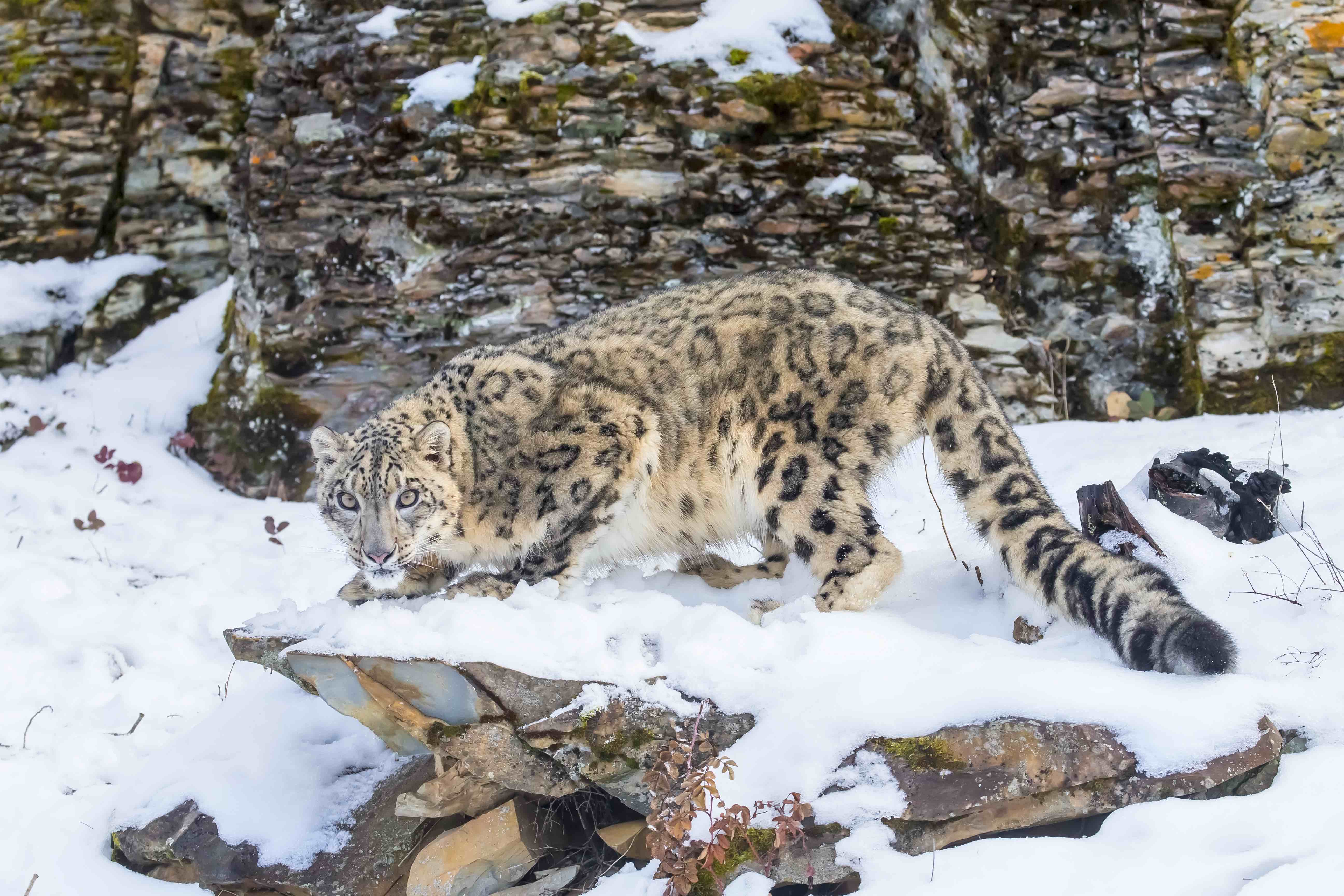 According to a new report, there only 4000 snow leopards living today due to poachers killing them daily in the high mountain ranges of Asia.