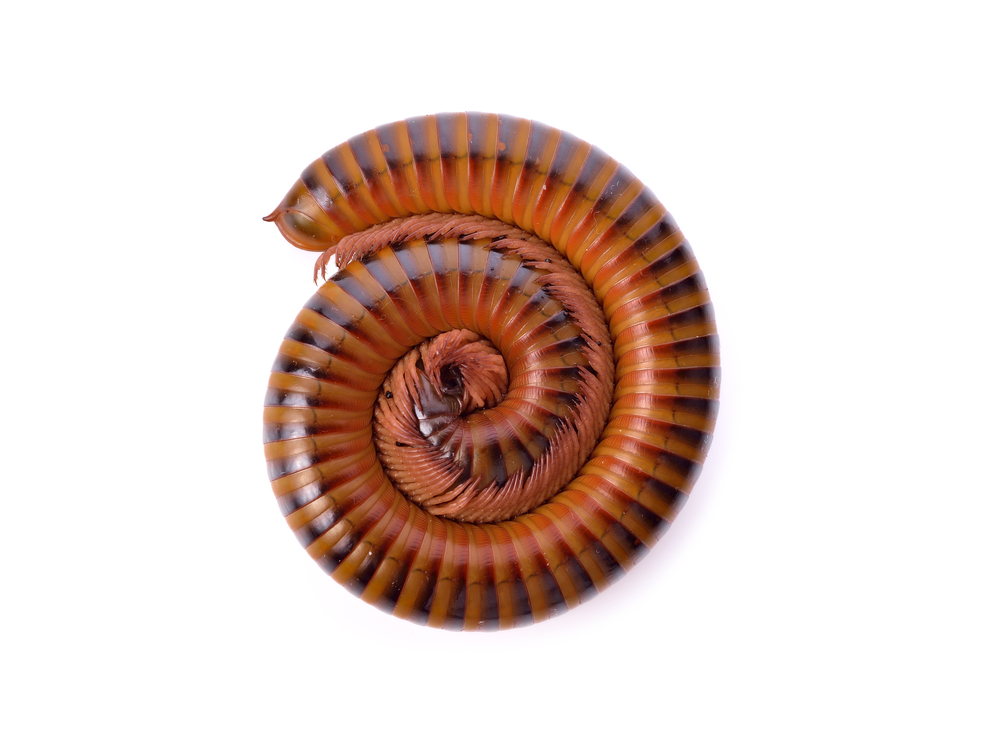 A new millipede species was discovered in California.