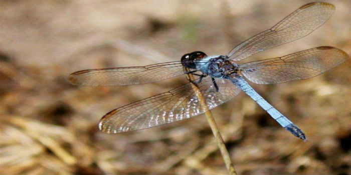 Meet Erythrodiplax ana the Brazilian Dragonfly, whose unique traits set her apart from other species.