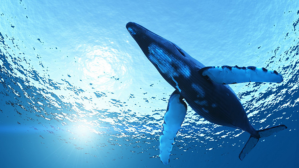 One of the largest genetic studies ever conducted on the humpback whale, Megaptera novaeangliae, was published today.