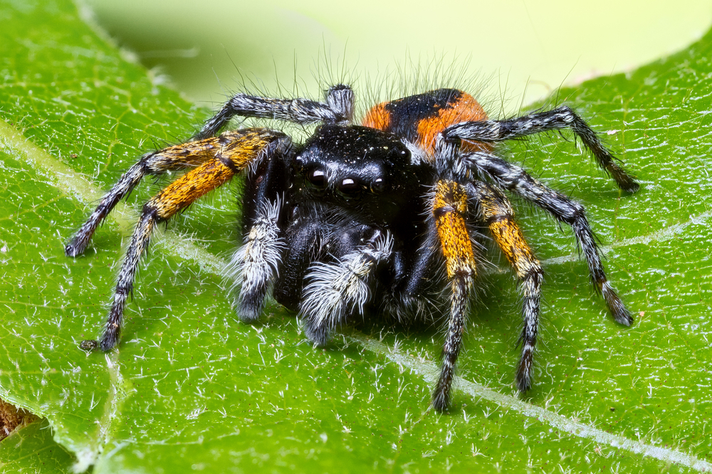 Jumping spiders are not deaf – reports of their deafness have been greatly exaggerated.