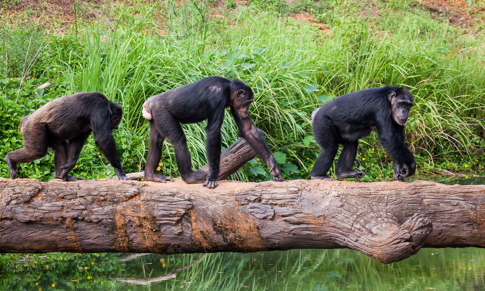 Chimpanzee stress could be caused by loneliness. A new study revealed they release fewer stress hormones after having interacted with other chimps.
