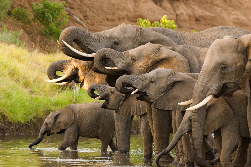 African Elephant poaching costs the continent greatly, according to a new study. Poachers kill between 20,000 and 30,000 elephants in Africa every year.