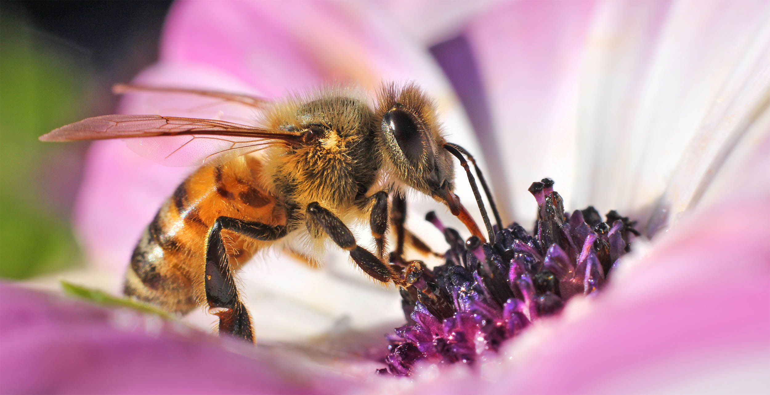 Honeybees threatened by disease from colony collapse disorder is bad news for beekeepers as 2015's brief bump in honeybee populations didn't last.