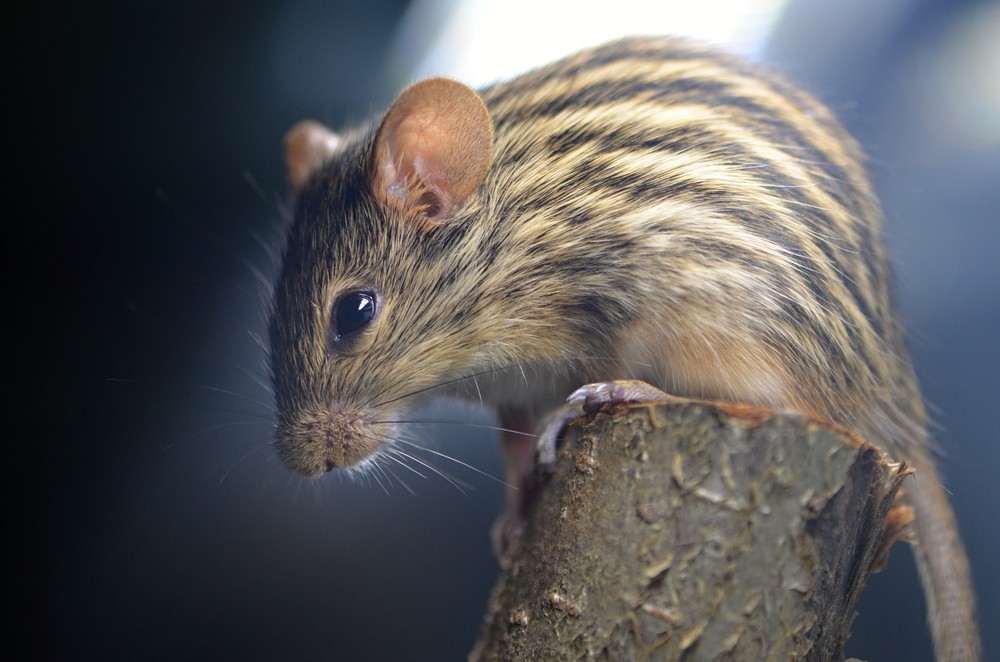 African striped mouse reveals his stripes in a report this week describing how the stripes found on the African striped mouse are due to a gene called Alx3.