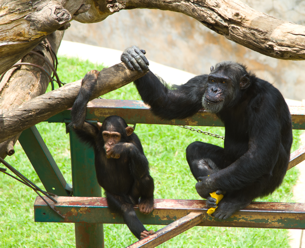 Male chimpanzees are better fathers than husbands – they'd rather hang around with their children than their lovers, according to new research.