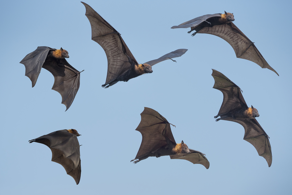 The Brazilian free-tailed bat is the fastest horizontal flyer of all aviators, clocking in at 160 kilometers per hour, recorded by radio transmitter.