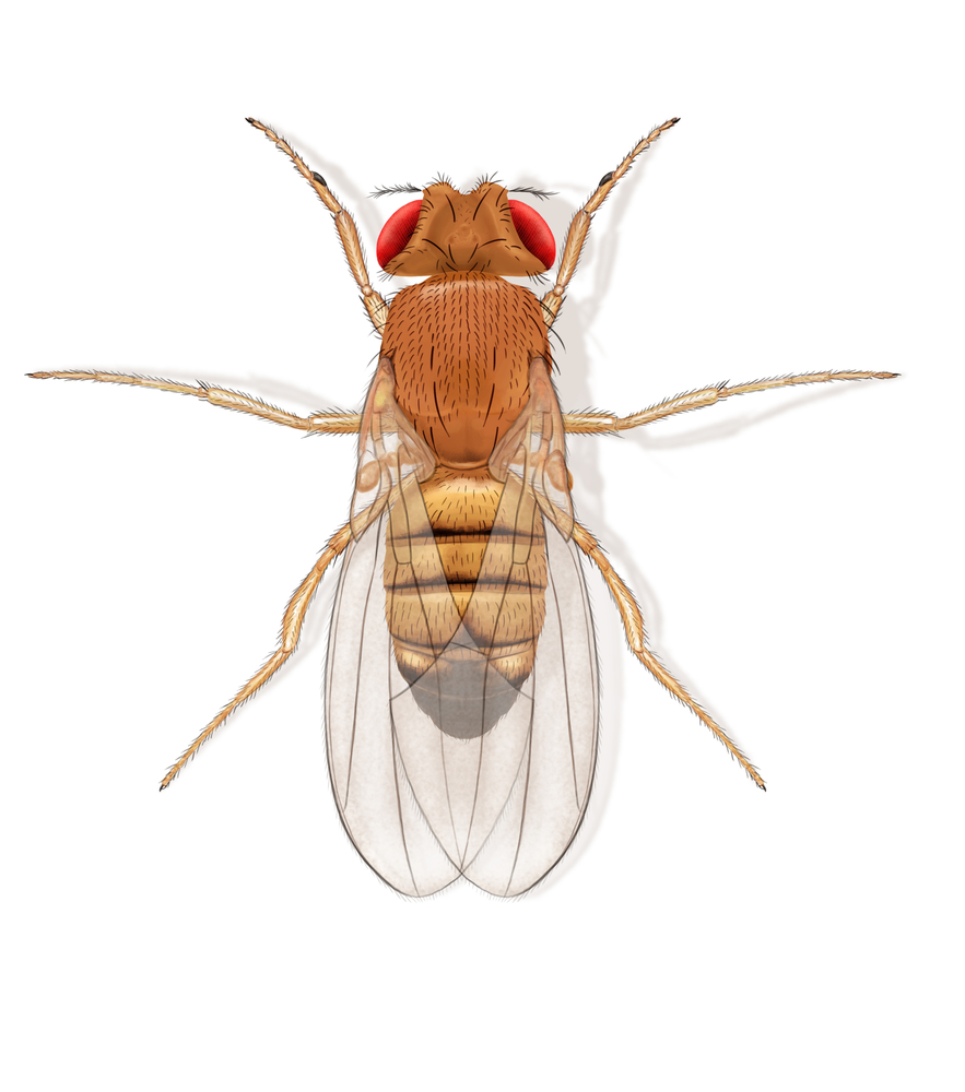 Fruit flies are often thought of as a nuisance, but it turns out they may actually help us understand better how humans respond to the common cold.