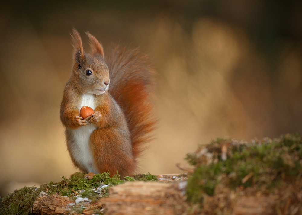 Red squirrels in Britain and Ireland are carrying the two types of bacteria that cause leprosy in humans, scientists say.