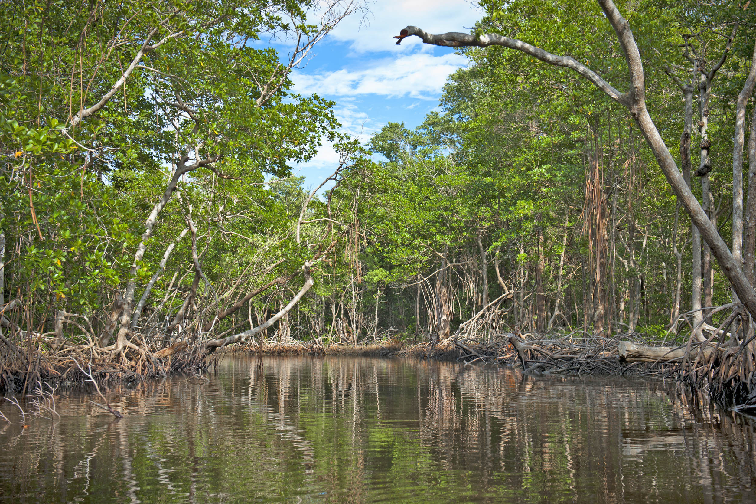 Mangrove forests in the Florida Everglades