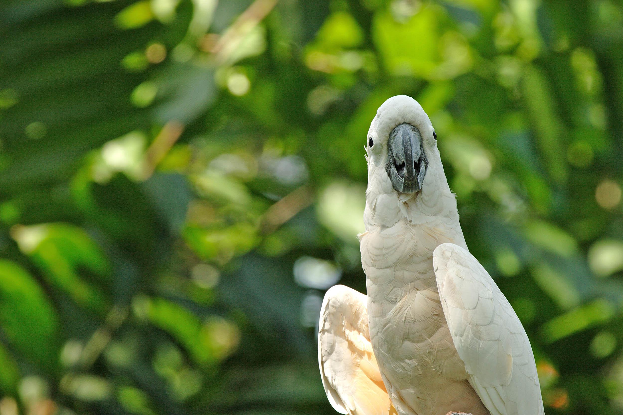 Goffin's cockatoos