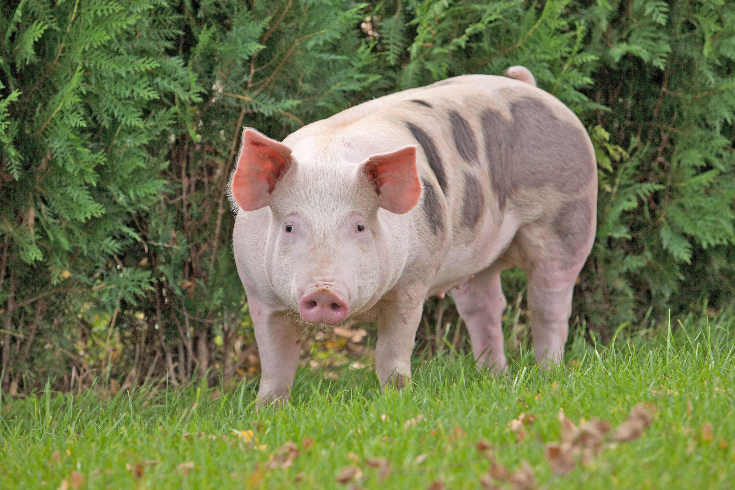 How mood and personality type affect the decisions of domestic pigs